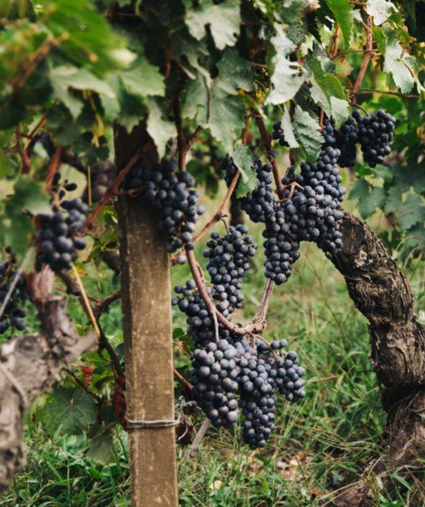 酿酒葡萄- 维思达公务机